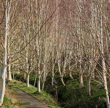 Spring Birches