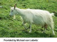 TYPE OF GOATS-APPENZELLER