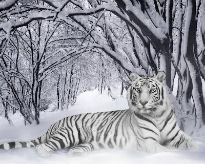 padure zapada tigru singuratic