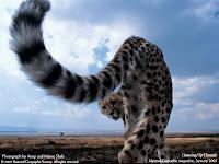 pantera leoaica carne vanatoare