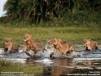 tigri prada