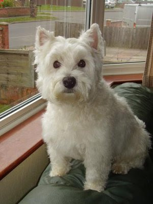 Funny West Highland White Terrier Puppies Images 2