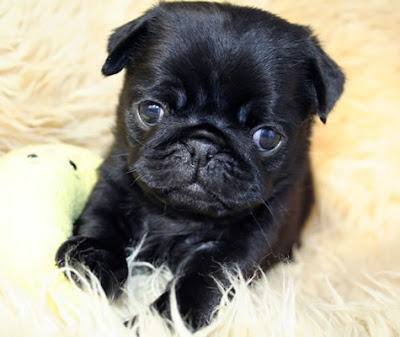 Funny Pug Puppies Pictures