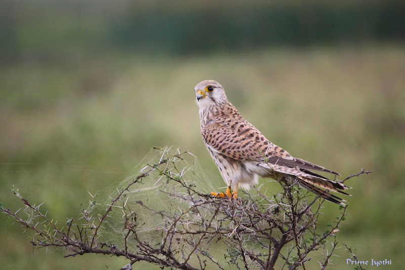 Kestrel Profile