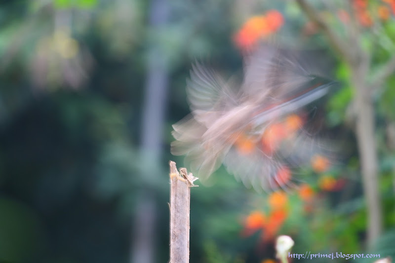 Bulbul flying away
