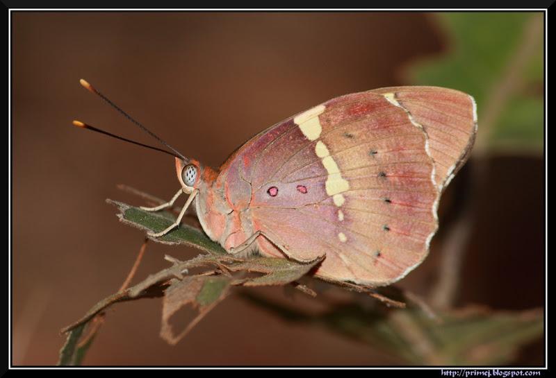 Baronet Butterfly