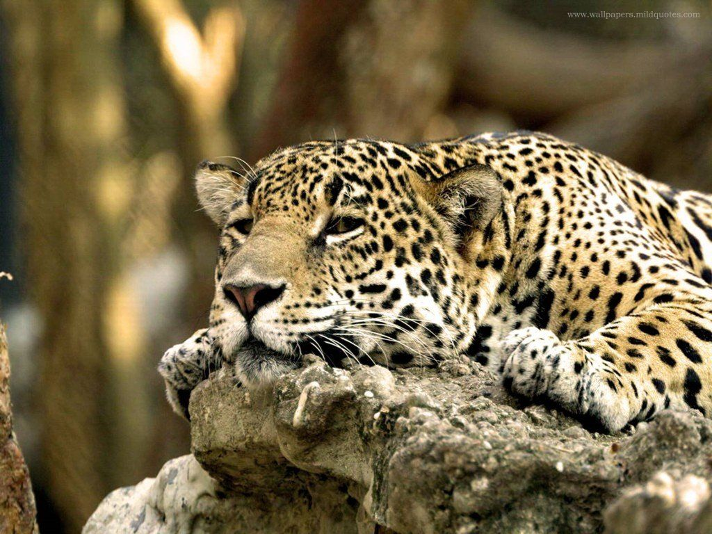 http://1.bp.blogspot.com/_oFDQgW3nuwI/TTMyiabigQI/AAAAAAAAC8o/rPNvqcmOccc/s1600/Animal-Cheetah-Wallpaper.jpg