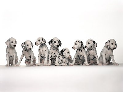 Dalmatian puppies Desktop Background