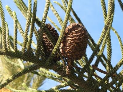 Araucaria heterophylla Cones