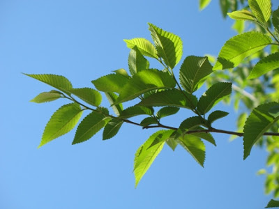Ulmus minor branch