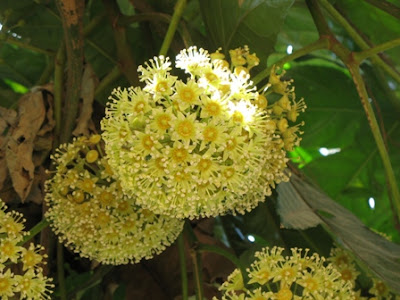 Trevesia palmata flowers
