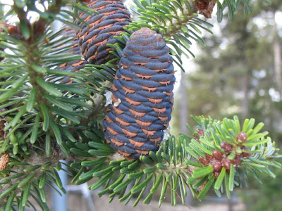 Nordmann Fir Cones- Abies nordmanniana