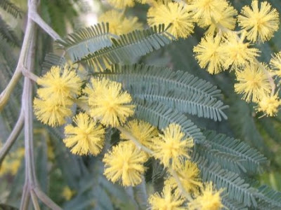 striking feature of the Silver Wattle is its bright yellow flowers that