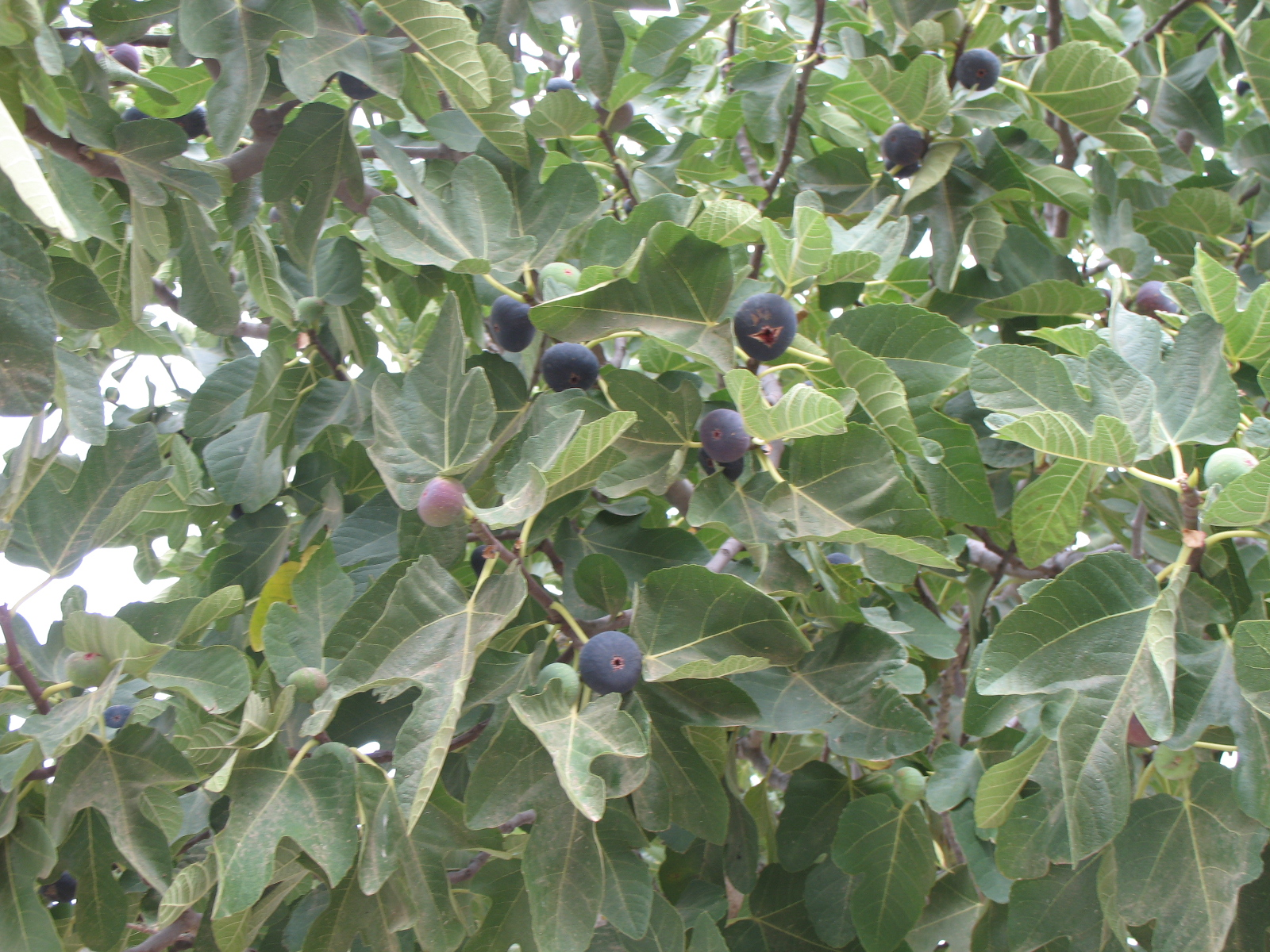 The World´s Tree Species: First Fruits of the Fig Tree ...