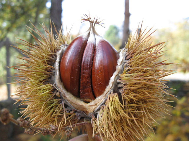 The world´s tree species images of edible sweet chestnuts