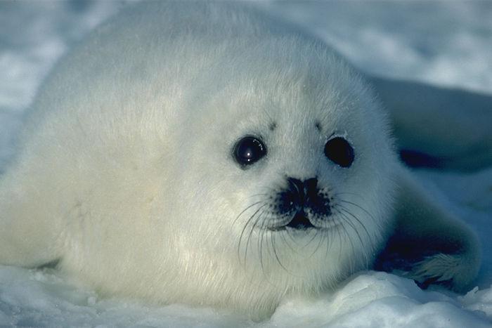 NO A LA CAZA DE FOCAS EN CANADA!! NO AL DESTROZO CRUEL DE ESTOS ANIMALITOS!!!! HELP GREENPEACE!!!