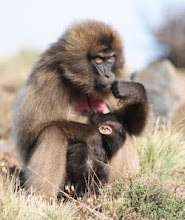 A female gelada