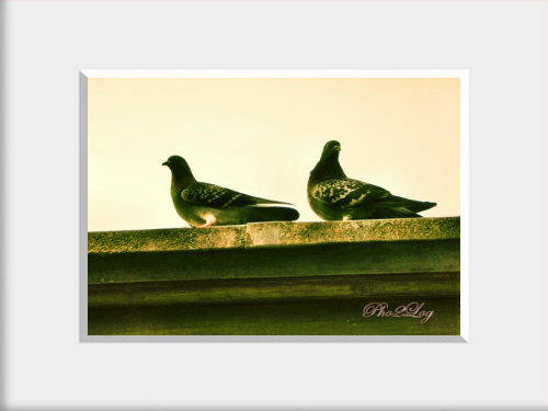 Pigeons - G%C3%BCvercinler