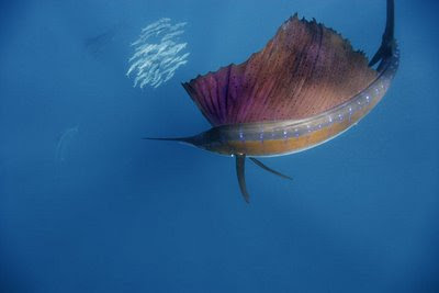 world record sailfish