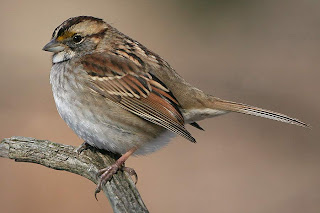 http://1.bp.blogspot.com/_oRiB8ULVp2w/SYxzcEbWkfI/AAAAAAAAAKA/cezizVXKEAs/s320/White-throated-Sparrow-tan-.jpg