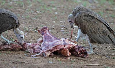 Hooded-Vultures-BINNS-IMG_3982-copy.jpg