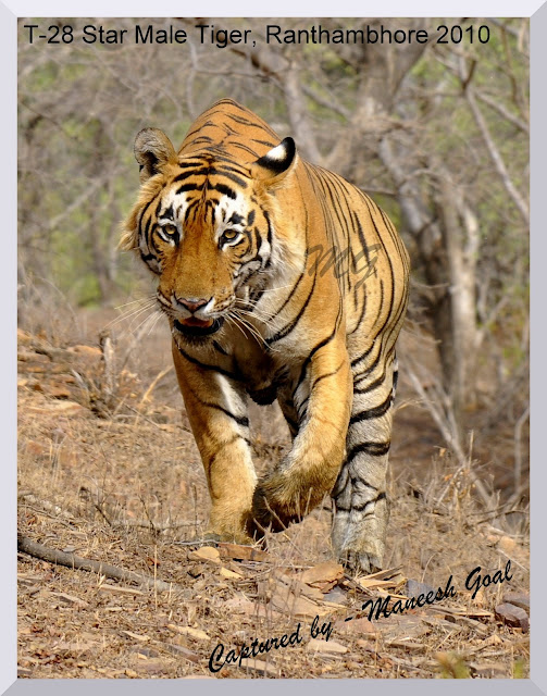 Save tigers india essays