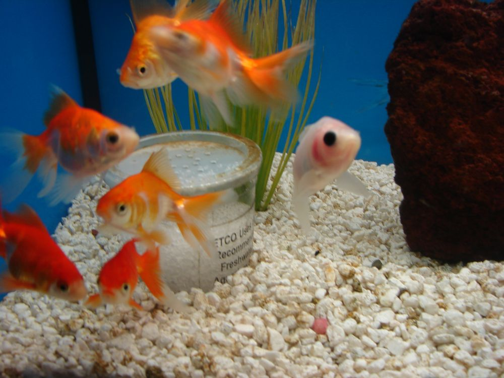 goldfish tank. need for live goldfish,