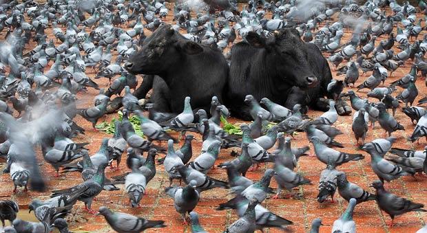 Cows relax amongst pigeons during the Gaijatra parade in Kathmandu, Nepal