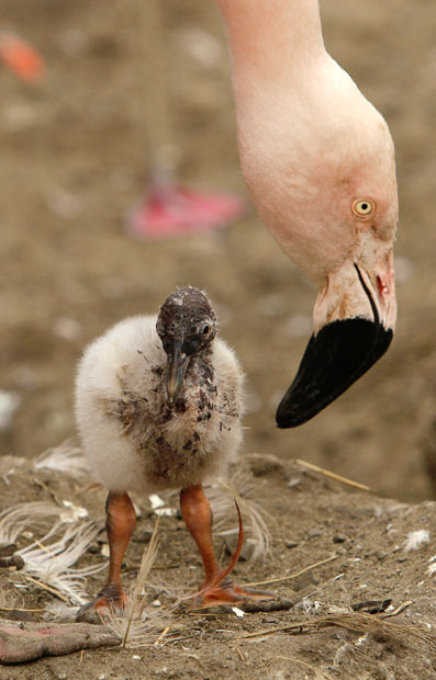A six-day old Chilean flamingo chick is nurtured by an adult at San Francisco Zoo
