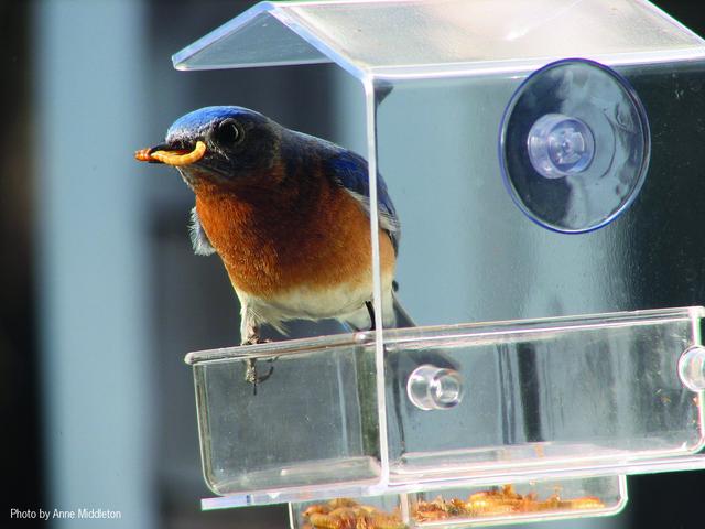 El Bluebird occidental le gusta bichos, bayas y plantas nativas. Cómo atraer a las aves azules occidentales a su jardín.