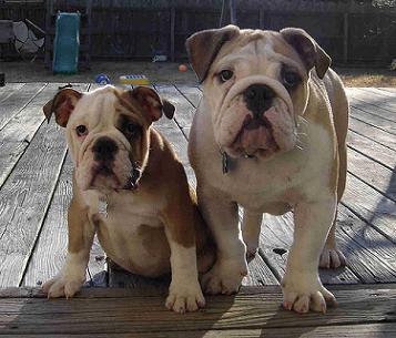 English Bulldog Puppies on English Bulldog Puppy Training Tips   Maddie The Bulldog