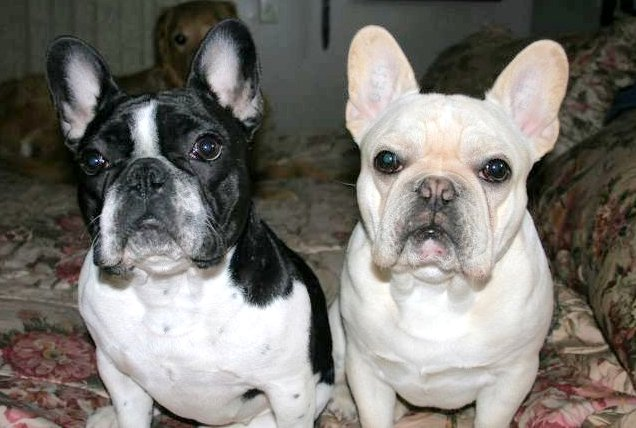 Boston Terrier Vs French Bulldog And french bulldogs can
