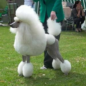 Poodle Dog Sports