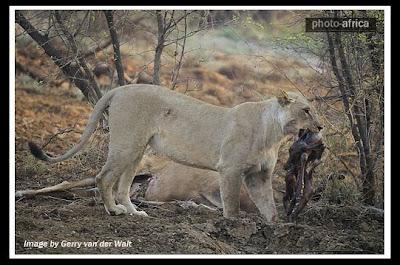 شیری كه بچه آهو را از شكم مادرش بیرون كشید WwW.FuN2PhOtO.MiHaNbLoG.CoM