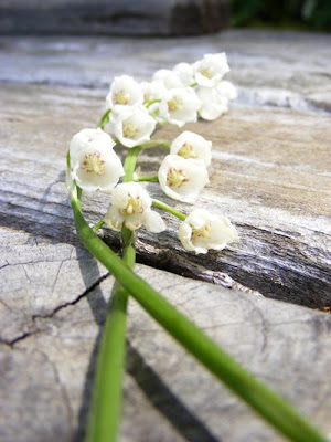 may 27, 2009   lily-of-the-valley that my five-year-old picked