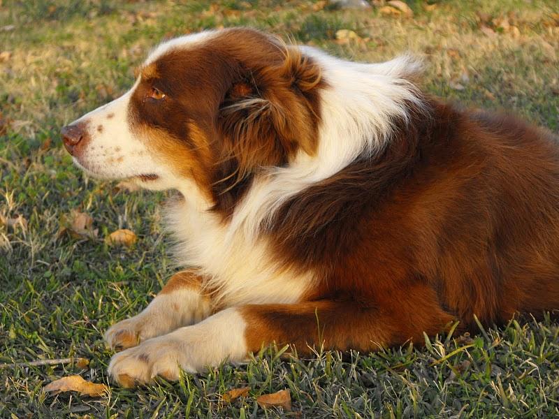 photos toy dog breeds list brindle dog breeds service dog breeds ...