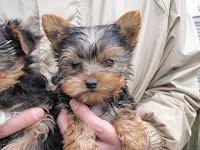 ヨーキー, 仔犬, ブリーダー, 子犬, 直販売
