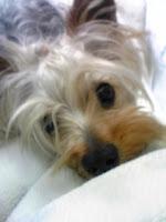 ふうた, かわいいヨーキー, ヨークシャテリア, コロナ犬舎