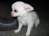 かわいいチワワ, 仔犬, ちゅうさん, ブリーダー
