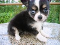 かわいいチワワ, 子犬, 小型犬, ブリーダー,