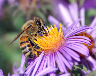 यूरोपीय मधुमक्खी