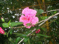 Our Most Beautiful Flower, Pink Double Hibiscus