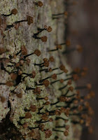Chaenotheca brunneola