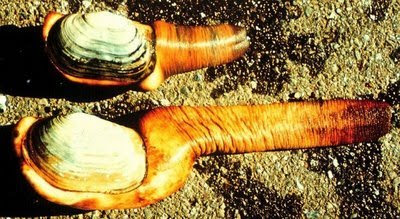 Geoducks 3 Worlds Most Strange Species   Geoducks !