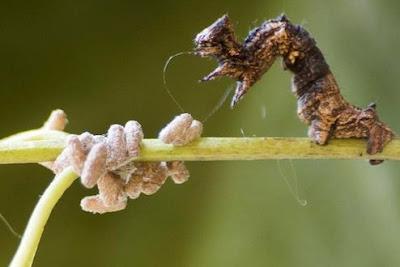 Zombie caterpillars