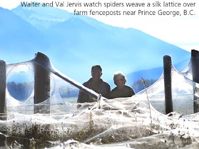 panorama Millions of Tiny Spiders Spin Mystery in a British Columbia Clover Field