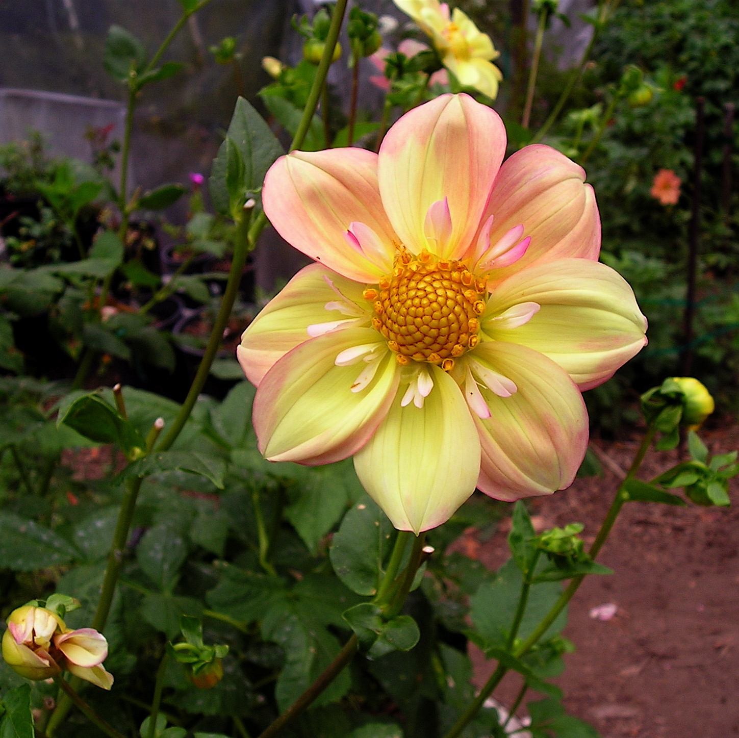 Yellow And Rose Dahlia
