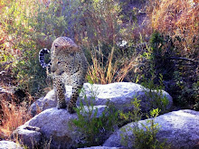 My Leopard