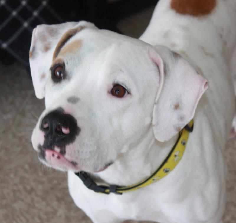 English Bulldog Boxer Mix Ohio, English, Free Engine Image ...