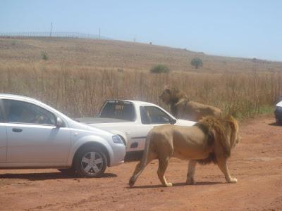 South African Lions - Safari Photos